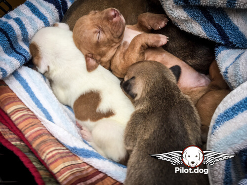 More puppies sleeping on the Pilot.Dog flight.
