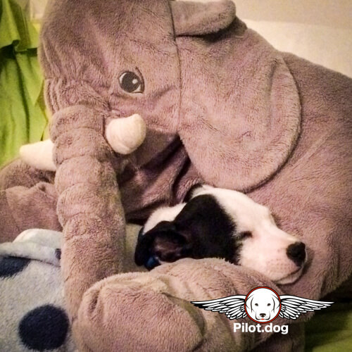 Turns out Vinny's favorite sleeping spot is a giant stuffed elephant.  They always sleep together.